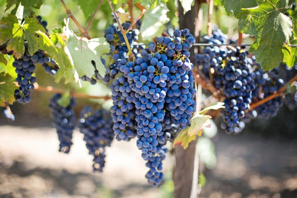 Napa und Sonoma Weinanbau